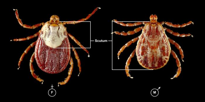 Diagram of male and female ticks against a black background.