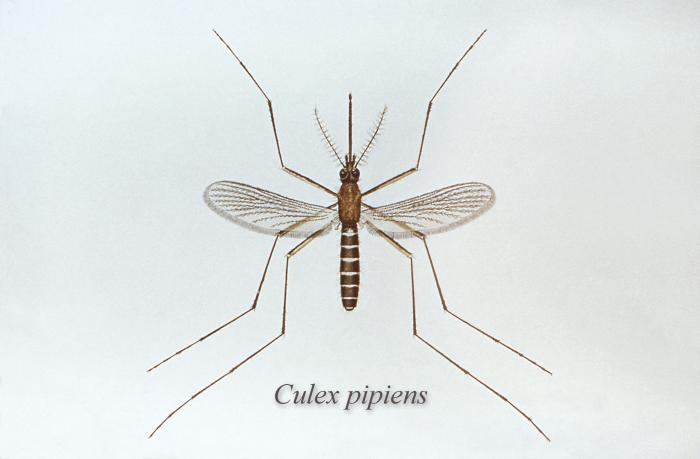 Diagram of a mosquito.