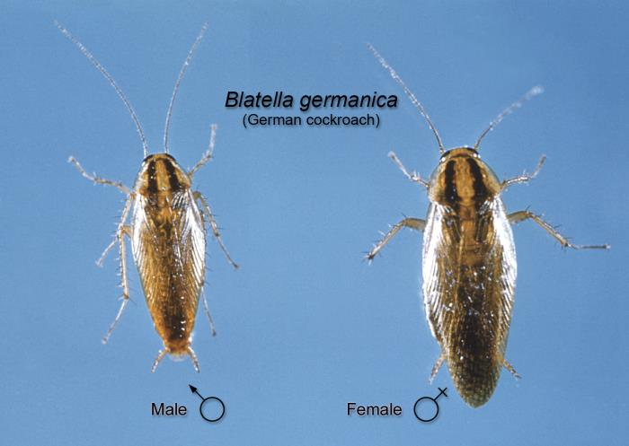 Diagrams of male and female cockroaches.