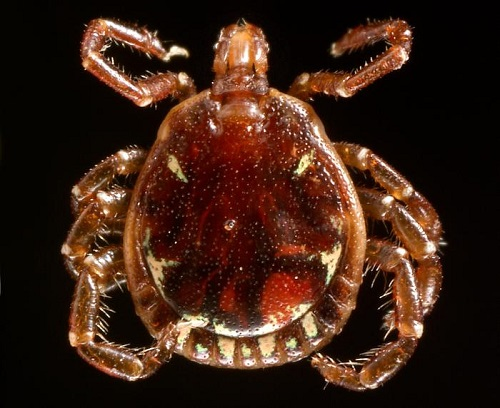 Close of of tick against a black background.