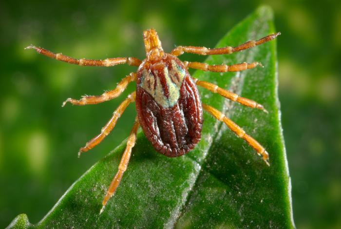 a close up photograph of the Amblyomma maculatum tick standing on a bright green leaf